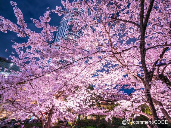 「桜入りデザイン」は効果あった?お花見で人気だったビールランキング2017!